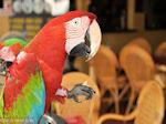 Papegaai in Rhodos stad
