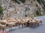 Schapen op de weg tussen Perama en Anogia - Foto van De Griekse Gids